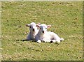 SH7452 : Two Lambs by the Lledr by Jeff Buck