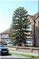 TQ7309 : Monkey Puzzle Tree, Southlands Road, Bexhill by Julian P Guffogg