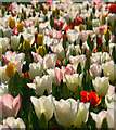 SP5107 : Tulips, University Parks, Oxford by Hugh Chevallier