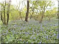 SO9194 : May Bluebells by Gordon Griffiths