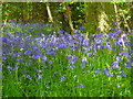 SU9387 : Bluebells in Dipple Wood by Shazz