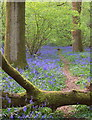 SU7148 : Bluebells in Gaston Copse : Week 20
