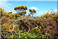 NX1242 : Gorse at Luce Bay by Billy McCrorie