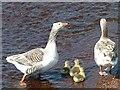 HU3145 : Geese and goslings : Week 21