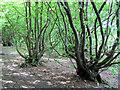 TL2418 : Pollarded Hornbeam Trees on Mardley Heath by Chris Reynolds