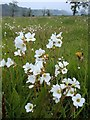 SK1259 : Meadow with meadow saxifrage in flower by Andrew Hill