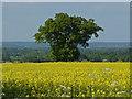 SU8874 : Oak Tree by Alan Hunt