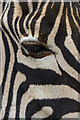 TL3306 : Zebra at Paradise Wildlife Park, Hertfordshire by Christine Matthews
