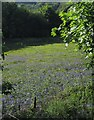 SX5390 : Bluebells near Sourton by Derek Harper