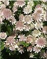 SX9265 : Astrantia, Tessier Gardens : Week 24
