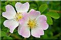J3371 : Dog roses, Belfast : Week 26