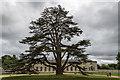 SP9632 : Cedar of Lebanon at Woburn Abbey, Bedfordshire by Christine Matthews