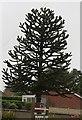 TF3212 : Monkey Puzzle Tree, Holbeach Drove Gate by J.Hannan-Briggs