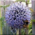 SO8527 : Globe Thistle, Echinops bannaticus by Jonathan Billinger