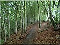 SK2998 : Woodland footpath above the River Don by Andrew Hill