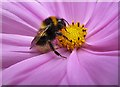 NT4936 : A bumblebee on a flower head : Week 31