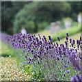 TQ8512 : Lavender at Fairlight Hall : Week 32