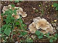 SP9308 : Large floppy fungi (Clitocybe sp. ?) by Rob Farrow