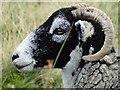 SK0584 : Sheep west of South Head : Week 42