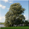 SO8016 : Willow by the Severn by Jonathan Billinger