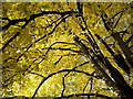 SO5923 : Lime or Linden Tree by Jonathan Billinger