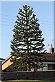 SK8377 : Monkey Puzzle Tree on A1133 by J.Hannan-Briggs