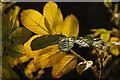 HP6209 : Rosa rugosa leaves, Halligarth, Baltasound : Week 47