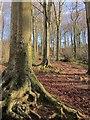 ST5578 : Woodland below Goram's Chair by Derek Harper