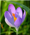 SU6474 : Crocus in the churchyard, Sulham, Berkshire : Week 8