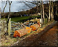 Dist:0.1km<br/>Located between Morgan Row and Aber-nant-y-groes-uchaf.  Considerable force must have distorted the metal gate. Were the heavy logs a cause of the damage?