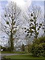 ST5964 : Trees with pom-poms by Neil Owen