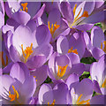 SE7872 : Purple patch of crocuses by Pauline Eccles