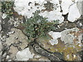 NT0079 : Wall-Rue and lichens on Airngath Hill by M J Richardson