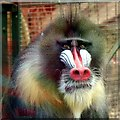 SJ4170 : Male Mandrill at Chester Zoo by Jeff Buck