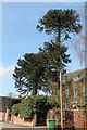 SK2838 : Two Monkey puzzle trees by J.Hannan-Briggs