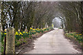 SD6408 : Daffodils line the track to Baron Fold by Ian Greig