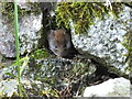 "NH5422 : ""Anyone out there?"" - Bank vole : Week 10"