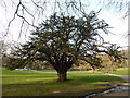 TM1644 : Yew tree in Christchurch Park by Hamish Griffin