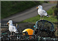 NT9267 : Herring gulls at St Abbs harbour : Week 12