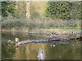 TM1645 : Log in pond in Christchurch Park by Hamish Griffin