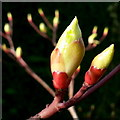 SO6424 : Buds of Cornus controversa : Week 12