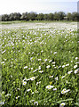 ST6167 : White with daisies by Neil Owen