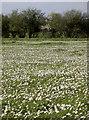 ST6167 : White flowers, white blossom by Neil Owen