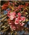 SX9064 : Cherry blossom, Pretty Park : Week 14