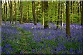 SP4772 : Cawston Wood Bluebells : Week 17