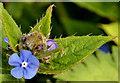 J3773 : Small blue flower, Comber Greenway, Belfast - April 2014(1) by Albert Bridge