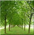TL0835 : Wrest Park - Avenue of young lime trees by Rob Farrow
