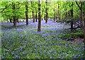 SU7579 : More Bluebells.... by Des Blenkinsopp
