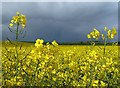 NT7738 : A rapeseed field at Lochton : Week 19