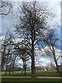 TM1645 : Horse Chestnut Tree, Christchurch Park by Hamish Griffin